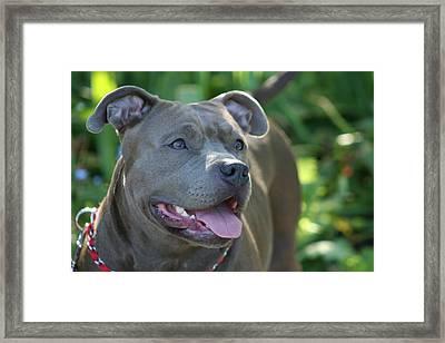 Pitbull In The Garden Framed Print by Ritmo Boxers