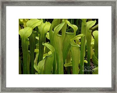 Pitcher Plants Framed Print by Bob Christopher