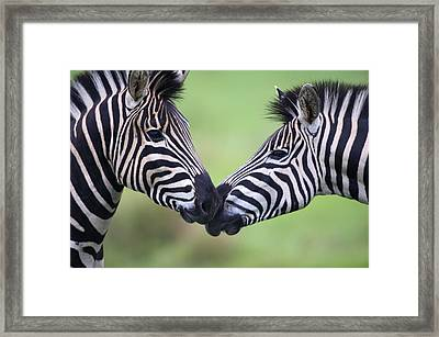 Plains Zebra (equus Quagga) Pair Interacting Framed Print