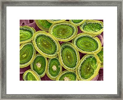 Plankton Cell Wall, Sem Framed Print by Steve Gschmeissner