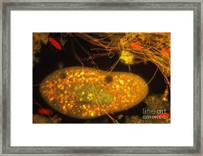 Plankton Framed Print by Eric V Grave