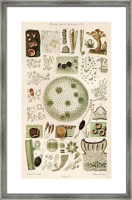 Plant And Fungi Microscopy, 19th Century Framed Print by