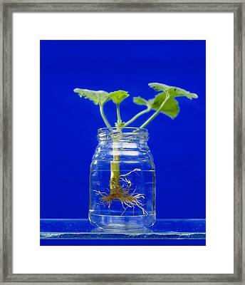 Plant Cutting Growing Roots Framed Print by Andrew Lambert Photography