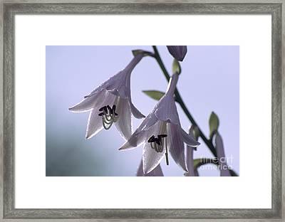 Plantain Lily Flowers (hosta Sp.) Framed Print by Dr. Nick Kurzenko