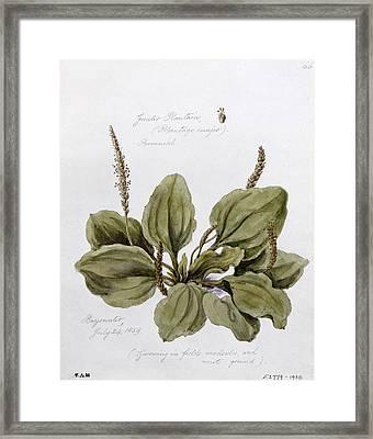 Plantain Framed Print by WJ Linton