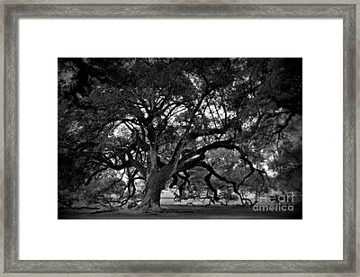 Plantation Oak Tree Framed Print by Perry Webster