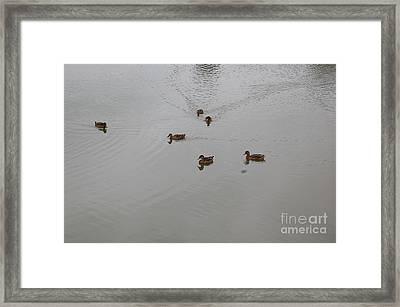 Playful Ducks Framed Print by Nick
