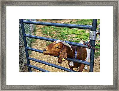 Please Exonerate Me - Billy Goat Framed Print