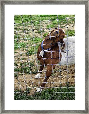 Please Exonerate Me 2 - Billy Goat Framed Print