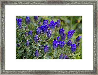 Framed Print featuring the photograph Pleated Gentian Patch by Katie LaSalle-Lowery