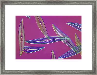 Pleurosigma Sp Diatoms, Light Micrograph Framed Print by Frank Fox