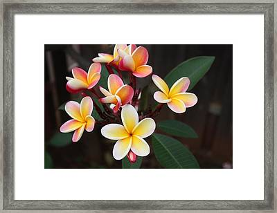 Framed Print featuring the photograph Plumaria Of Red And Yellow by Craig Wood