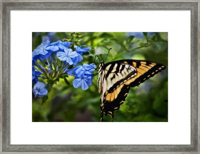 Framed Print featuring the photograph Plumbago And Swallowtail by Steven Sparks