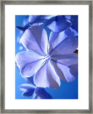 Plumbago Flowers Framed Print by Catherine Natalia  Roche