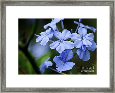 Plumbago Framed Print by Sabrina L Ryan