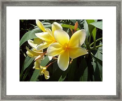 Plumeria Flower Framed Print by Lisa Williams