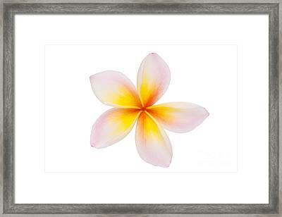Plumeria Or Leelawadee Framed Print by Atiketta Sangasaeng