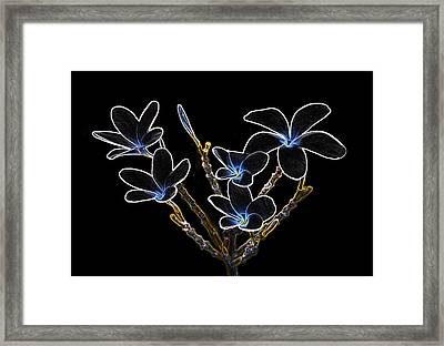 Plumeria Outlines B7072 Framed Print by Michael Peychich