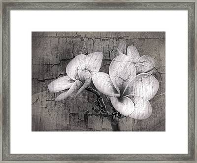 Plumiera In Black And White Framed Print by James Steele