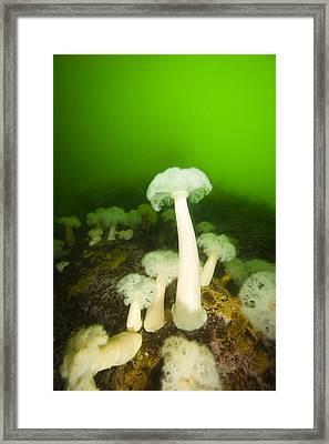Plumose Sea Anemones, Alaska, Usa Framed Print