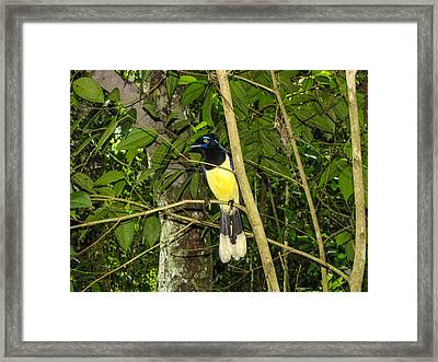 Framed Print featuring the photograph Plush-crested Jay by David Gleeson