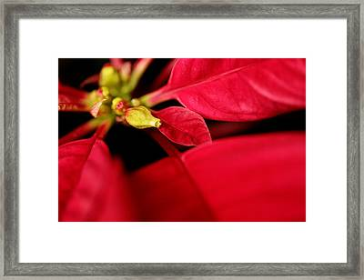 Poinsetta2 Framed Print