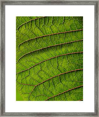Poinsettia Leaf II Framed Print