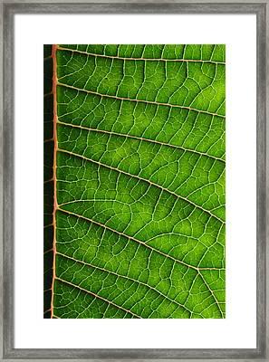 Poinsettia Leaf IIi Framed Print