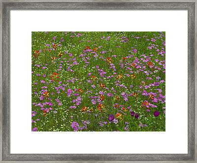 Pointed Phlox And Indian Paintbrushes Framed Print