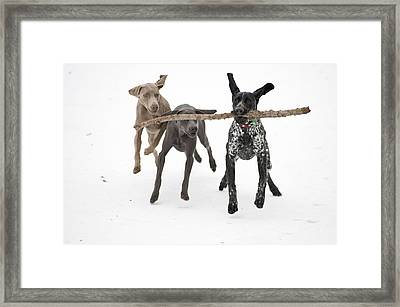 Pointers Rule, Weimaraners Drool Framed Print by Michael Fiddleman, fiddography.com