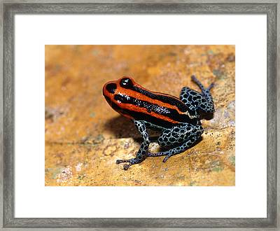 Poison Arrow Frog Framed Print