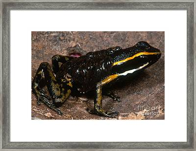 Poison Arrow Frog With Tadpoles Framed Print by Dante Fenolio