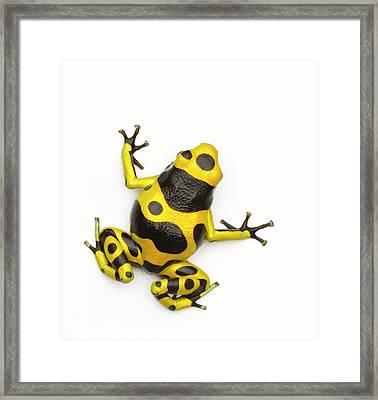 Poison Dart Frog Framed Print by Don Farrall