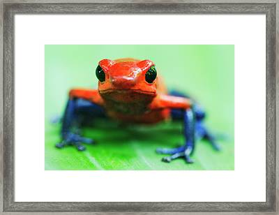 Poison Dart Frog Framed Print by Jeremy Woodhouse