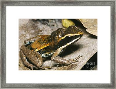 Poison Dart Frog With Tadpoles Framed Print by Dante Fenolio