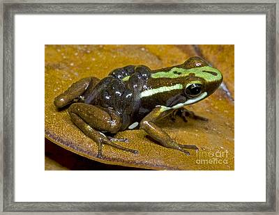 Poison Frog With Tadpoles Framed Print by Dante Fenolio