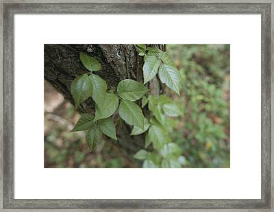 Poison Ivy Climbs A Pine Tree Framed Print by Stephen Alvarez
