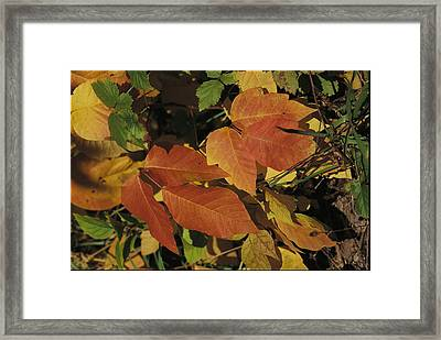 Poison Ivy Leaves Take On Fall Color Framed Print by Tim Laman