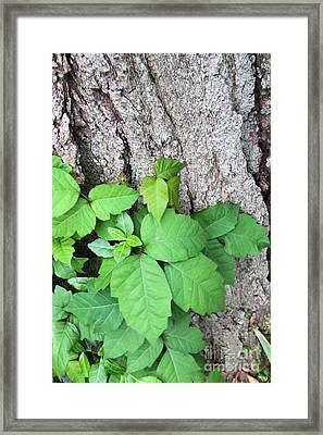 Poison Ivy Framed Print by Photo Researchers, Inc.