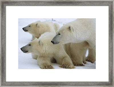 Polar Bear And Two Large Cubs Sniffing Framed Print by Norbert Rosing