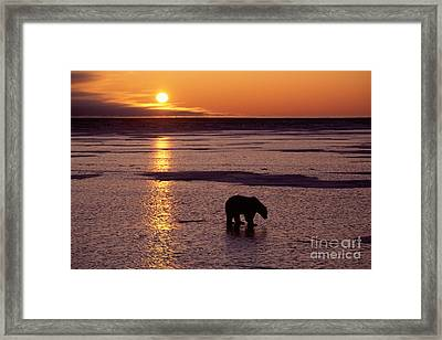 Polar Bear At Sunset Framed Print by Francois Gohier and Photo Researchers