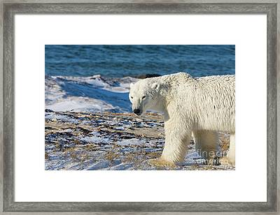 Polar Bear Framed Print by Buchachon Petthanya