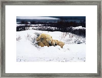 Polar Bear Cubs, Churchill, Manitoba Framed Print