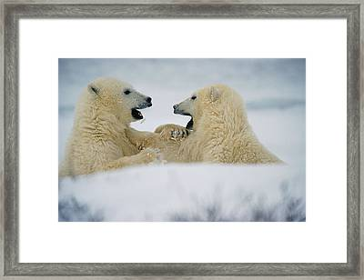 Polar Bear Cubs Sparring, Churchill Framed Print by Mike Grandmailson