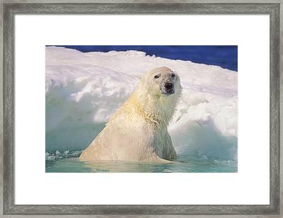 Polar Bear In Ice Pool Framed Print by John Pitcher