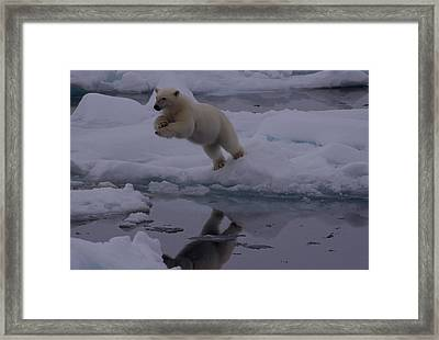 Polar Bear Leaping Over A Gap In Arctic Framed Print by Norbert Rosing