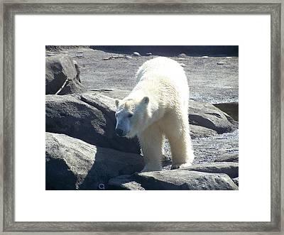 Polar Bear Looks Framed Print by Geri Chamberlin