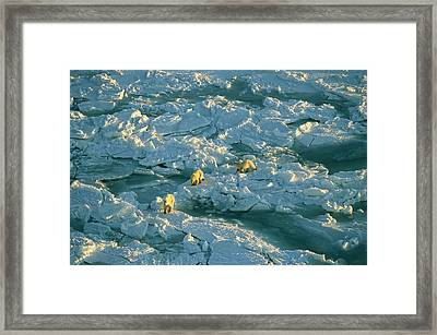 Polar Bear Mother And Cubs Walking Framed Print by Norbert Rosing