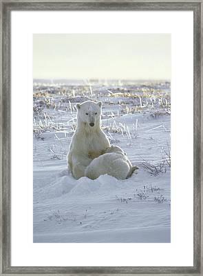 Polar Bear Mother Nursing Cub Churchill Framed Print