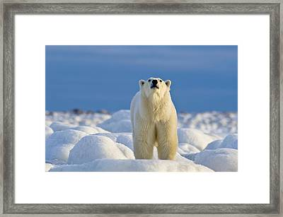 Polar Bear On Ice Framed Print by Dennis Fast